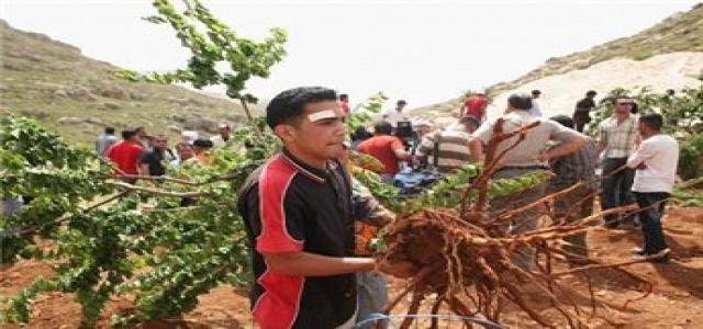Jewish settlers destroy 200 olive trees in Nablus