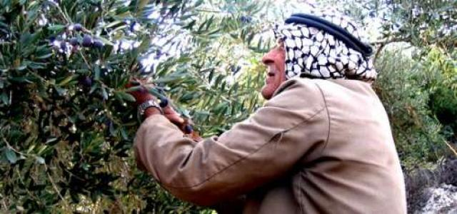 Oxfam: Palestinian olive oil profits affected by settler violence