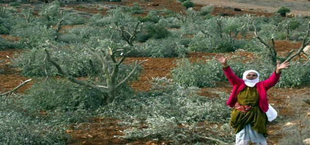 Activists work to stop wall construction and uprooting of olive trees in Beit Jala